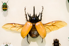 CC294 Five-Horned Rhinoceros Beetle Insect Museum (listentoreason) Tags: usa nature animal closeup museum america canon insect newjersey unitedstates beetle favorites places animalia arthropoda scarab invertebrate rhinobeetle arthropod coleoptera scarabbeetle tomsriver insecta rhinocerosbeetle scarabaeidae pterygota neoptera endopterygota score35 eupatorusgracilicornis ef28135mmf3556isusm bugmuseum insectidentification scarabaeoidea dynastinae eupatorus insectropolis animalidentification fivehornedrhinocerosbeetle dynastini bugseum