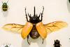 CC294 Five-Horned Rhinoceros Beetle Insect Museum (listentoreason) Tags: usa nature animal closeup museum america canon insect newjersey unitedstates beetle favorites places animalia arthropoda scarab invertebrate rhinobeetle arthropod coleoptera scarabbeetle tomsriver insecta rhinocerosbeetle scarabaeidae pterygota neoptera endopterygota score35 eupatorusgracilicornis ef28135mmf3556isusm bugmuseum insectidentification scarabaeoidea dynastinae eupatorus insectropolis animalidentification fivehornedrhinocerosbeetle dynastini bugseum