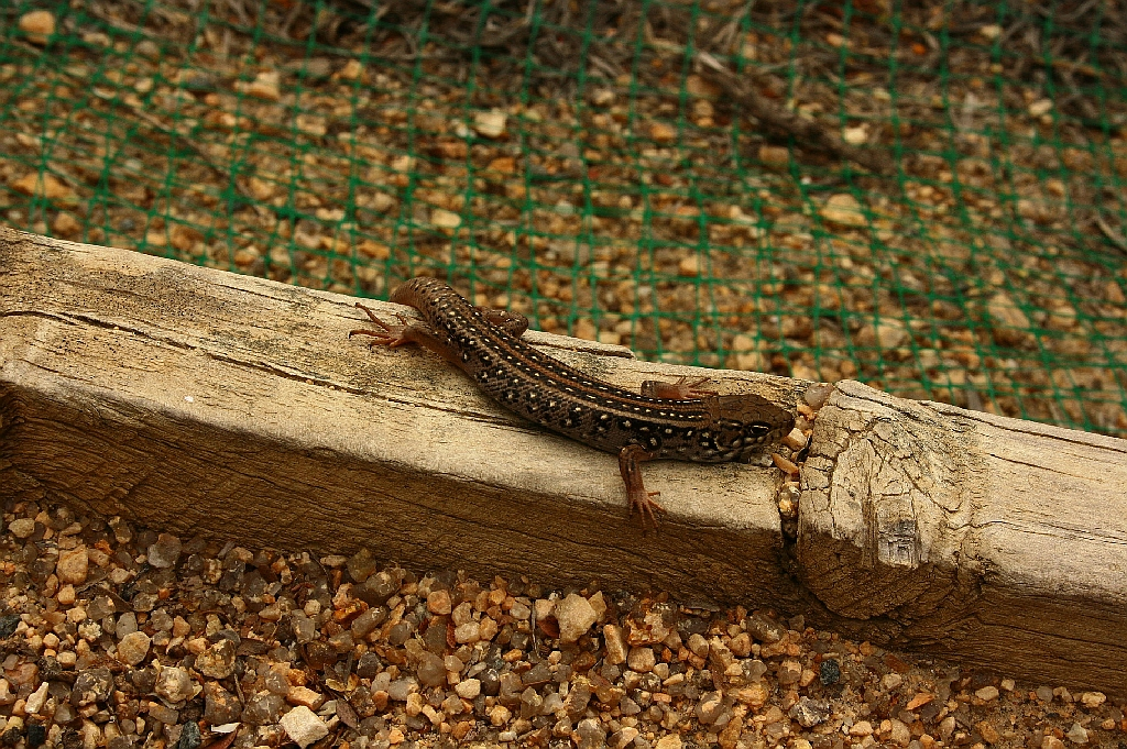 I think that this is a Tree Skink, but am not absolutely sure