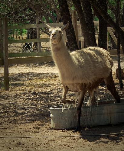 Llama exiting bathtub