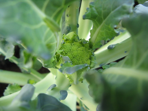 Beginning of Broccoli