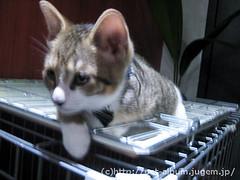 猫カフェのネコの写真5