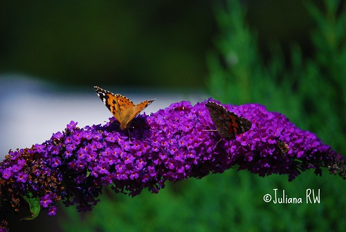 Butterfly & Purple Flowers