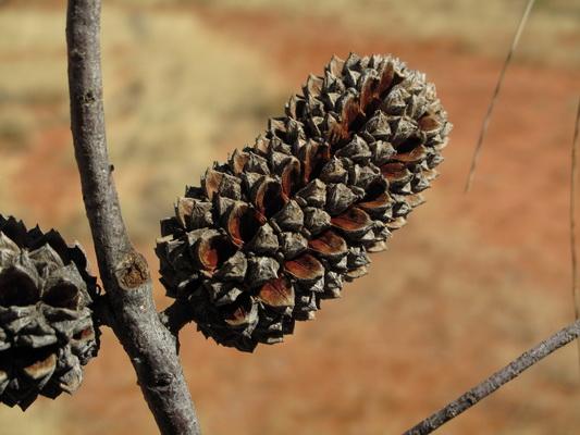 Desert oaks - Allocasuarina decaisneana - seed case