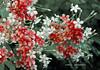 Blossom (E m m a d) Tags: flowers pakistan red summer white black digital photoshop photography daylight nikon different blossom depthoffield attractive strength dslr karachi pleasent d80 aplusphoto