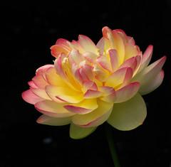 Lotus Flower (Sandra Leidholdt) Tags: usa flower nature floral america garden us flora colorado unitedstates lotus denver explore american elegant elegance  amricain gardenflowers denverbotanicalgardens explored sandraleidholdt lotosblume leidholdt sandyleidholdt