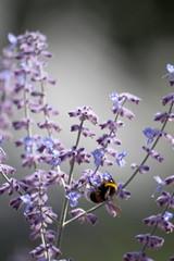 Parc Floral - Vincennes-56 (MissDogo) Tags: paris macro fleur closeup animaux parc insectes vincennes parcfloral bourdon proxyphoto hym hyménoptères hymnoptres