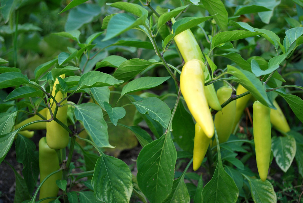 School Peppers