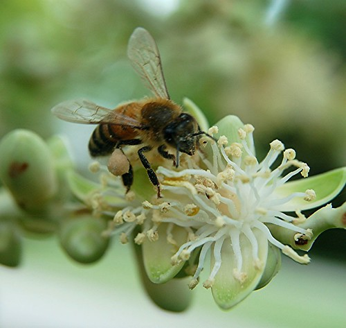 Honey Bee collecting cream-colored pollen from a Christmas Palm stashes it on his hind leg