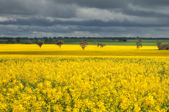 Field of Dreams (WilliamBullimore) Tags: sky field yellow landscape farm canola digitalcameraclub fbdg atomicaward thepowerofnow newgoldenseal