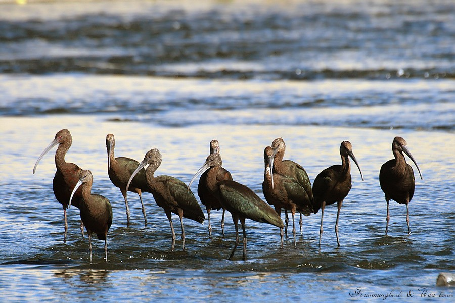 White-faced Ibis071