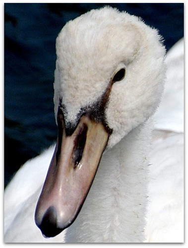 young swan face