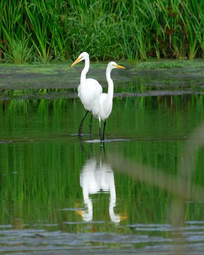 Siamese egrets? by jc/pics.