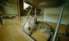 My Cat (Shoichi Masuhara) Tags: cat nikon f2  agfavista100 nikonf2photomic photomic epsongtx970