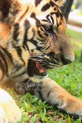 Cub (Pkamo@Tai) Tags: trip travel beautiful face animal closeup relax thailand funny tour view tiger bigcat thai chiangmai 2009  maerim puykamo  tigerkingdom