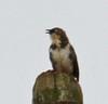Northern Pied-Babbler (Glen Tepke) Tags: passeriformes babbler turdoides timaliidae fbwnewbird fbwadded northernpiedbabbler turdoideshypoleucus turdoideshypoleuca