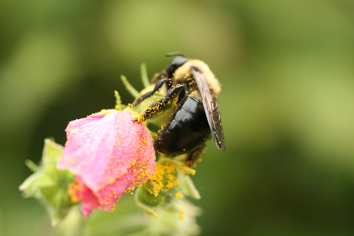 Carpenter Bee on Kosteletzkya virginica
