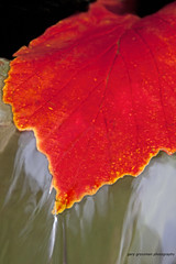Flowing Water Over Red Leaf (Gary Grossman) Tags: autumn red water oregon leaf colorful fallcolor redleaf flowingwater colorphotoaward