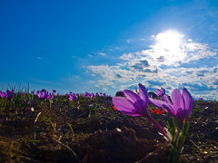 Saffron -  (Nick-K (Nikos Koutoulas)) Tags: crocus nikos greece macedonia saffron nickk ellada fotocommunity  kozani krokos safrane       gvr1 koutoulas