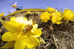 Far East Amur adonis and bees (masahiro miyasaka) Tags: flowers blue sky flower yellow japan canon insect fly flying flight fisheye yellowflower bee  fareastamuradonis