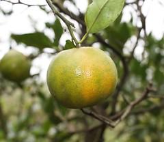 tangerines3