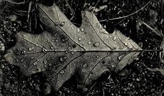 (TopKilla) Tags: autumn bw water rain leaf drops waterdrops nikond700 nikkor100mmf28e