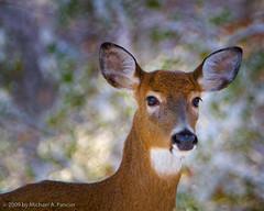 Bambi (Michael Pancier Photography) Tags: autumn nature virginia wildlife deer nationalparks señor shenandoahnationalpark michaelpancier michaelpancierphotography wwwmichaelpancierphotographycom señorcohiba