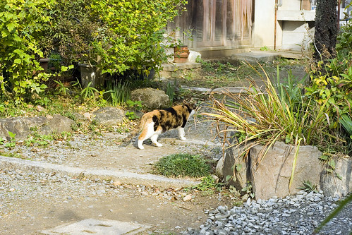 Shunko-In temple cat spotted, pat attempt failed