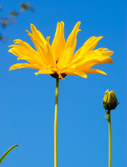Reach for the Sky! (antonychammond) Tags: uk blue england flower green yellow garden britain rudbeckia picturesque eastsussex ohhh bexhillonsea douglasbader reachforthesky bej fantasticflower kennethmore flickraward firsttheearth macroflowerlovers mimamorflowers awesomeblossoms vosplusbellesphotos ubej panoramafotogrfico mostbeautifulpicturembpictures thebestofcengizsqueezeme2groups