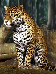 Jaguar (dank1012) Tags: zoo jaguar breathtaking milwaukeezoo milwaukeecountyzoo breathtakinggoldaward breathtakinghalloffame