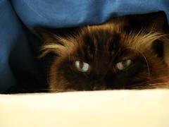 Stressed (ganessas) Tags: color cat eyes natura gato stressed kato h9 oculto heartawards stresado