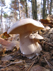 Clitocybe nebularis (giansacca) Tags: mushroom mushrooms fungi fungus funghi hongo pilz champignons setas fungo cardinale ferla lepista ciuperci clitocybenebularis agarico lepistanebularis agariconebbioso fungiuifojjia grigiotto