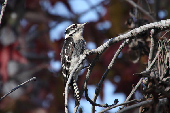 330_downyWoodpecker