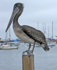 Last of the pelicans