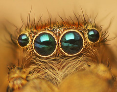 Eyes of Jumping spider - Marpissa radiata (Lukjonis) Tags: portrait macro beautiful insect spider photo jumping eyes colours spiders lukas colourful supermacro lithuania jumpingspider coloration lietuva canonef100mmmacrousm salticus marpissa radiata salticidae photostack macroextreme supershot photoshopcs3 lmaoanimalphotoaward canoneos40d jonaitis lukjonis lukasjonaitis