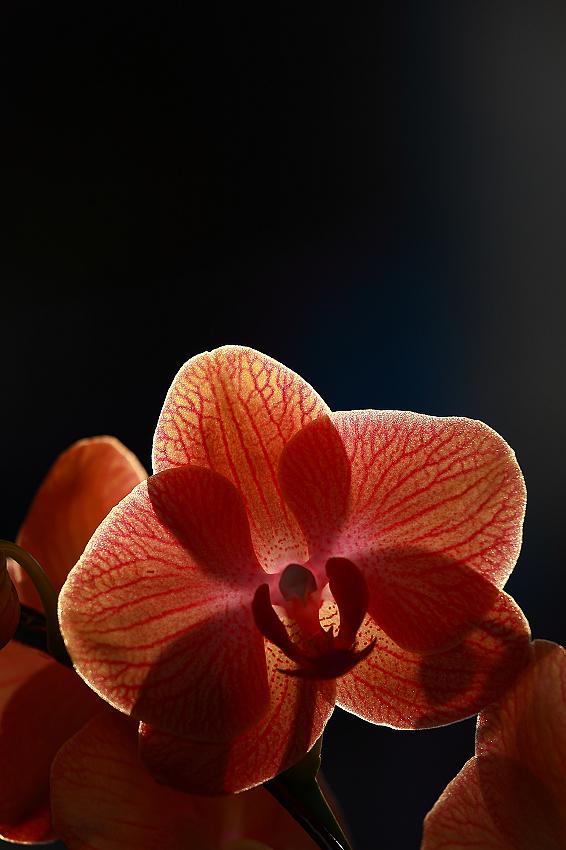 透光的橘蝴蝶