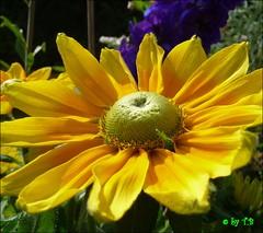 My sun for you !!!!  :-)) (Traudl2009**(only catching up these days )) Tags: yellow gelb sensational detmold flowersarebeautiful excellentsflowers thesuperbmasterpiece natureselegantshots mimamorflowers summer2009 panasonictz5 vosplusbellesphotos flickrflorescloseupmacros traudl2009 theoriginalgoldseal