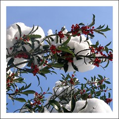 Merry Christmas! (Michiel Thomas) Tags: christmas flowers schnee winter snow flower macro fleur beautiful leaves fruit fleurs wonderful berries snowy nieve blumen newyear holly seeds covered stems neige wildflowers merry ferns blume wildflower pods happynewyear snowcovered ilex acebo macrophotography wildplants ilexaquifolium hulst houx aquifolium bonneanne stechpalme topseven abigfave anawesomeshot europischestechpalme berrychristmas houxcommun gemeinestechpalme merrychristmasberries