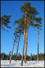 09 (Bargais) Tags: winter latvia latvija kuldiga ziema kuldīga priedes