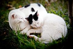 Moixos dormint (Juan Antonio Cap) Tags: animal cat kat feline chat sleep f14 dream 85mm gato falcon felino rest katze mace  gatto  partner kot gat koka kedi kissa kttur maka kucing pusa mo moix    minino  samyang   pisic   canoneos5dmarkii   falcon85mmf14