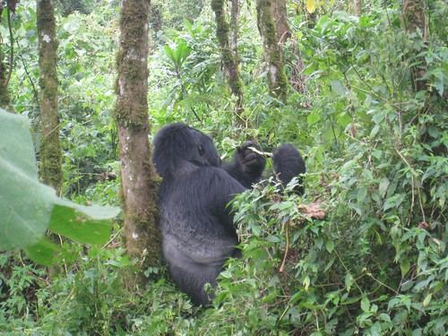 A silverback gorilla rests upon a tree while feeding