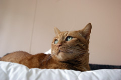 My ginger cat watching for birds in window (Rychu92) Tags: red reflection window cat foxy ginger sony rudy dslr kot oko eys odbicie sonyalphadslra290 a290l