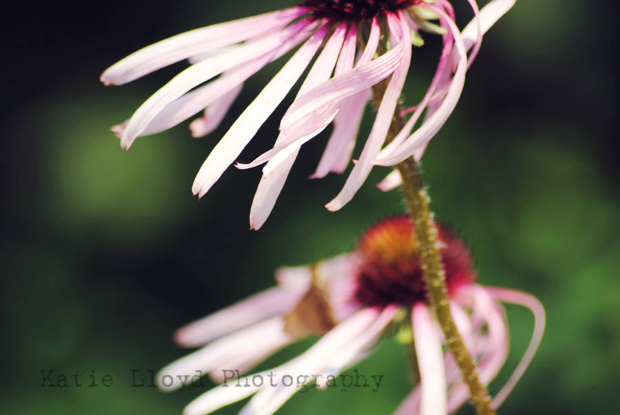 coneflowers-in-the-wind