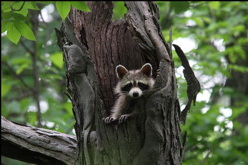Raccoon Riverwood Park Mississauga Ontario Canada by gashphoto