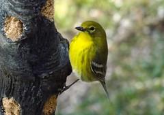 We're Good (ChicaD58) Tags: dscf7672a pinewarbler warbler yellowbird suetfeeder suet backyard winter sunnyday ngc coth alittlebeauty coth5