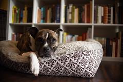 Greta (syzygial) Tags: greta americanpitbullterrier pitbull boxermix boxer rescuedog newbed zzz