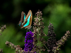 Blue Triangle Butterfly (womboyne7) Tags: bluetrianglebutterfly butterfly shrub mauve buddleia blue brown pentaxk311
