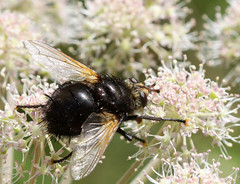 Tachina grossa (2) (saracenovero) Tags: tachinagrossa tachinidae diptera flies fliesoflithuania mazeikiai 2016