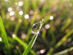 Blades Of Bokeh... (Nature_Deb) Tags: morning summer sunlight black macro reflection green nature grass yellow closeup backlight waterdrop bokeh refraction blade hbw