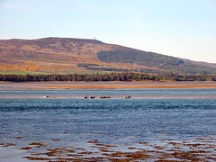 Seals near Dornoch